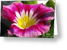 Morning Glory Named Red Ensign Greeting Card