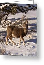 Mule Deer   #6339 Greeting Card