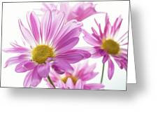 Mums Flowers Against White Background Greeting Card