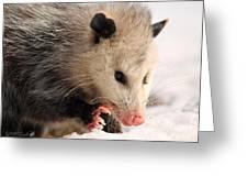 North American Opossum In Winter Greeting Card
