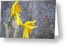 2 Old Daffodils Greeting Card