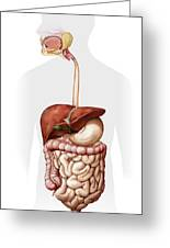 Overview Of The Digestive System Greeting Card