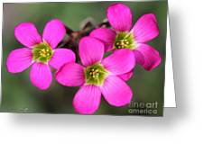 Oxalis Magnifica Greeting Card