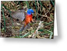 Painted Bunting Passerina Ciris Greeting Card
