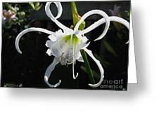 Peruvian Daffodil Named Advance Greeting Card