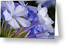 Plumbago Summer Solstice In New Orleans Louisiana Greeting Card