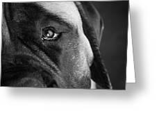 Portrait Of A Mastiff Greeting Card