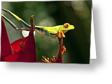 Red Eyed Tree Frog 1 Greeting Card