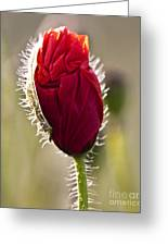 Red Poppy Bud Greeting Card