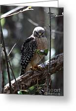 Red - Shouldered Hawk II Greeting Card
