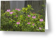 Rhododendron In Del Norte State Park, Ca Greeting Card