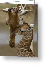 Rothschild Giraffe And Calf Greeting Card