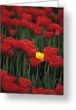 Rows Of Red Tulips With One Yellow Tulip Greeting Card