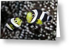Saddleback Anemonefish Greeting Card