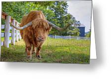 Scottish Highlander Ox Greeting Card