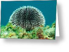 Sea Urchin Greeting Card