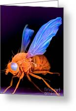 Sem Of A Fly Drosophila Greeting Card