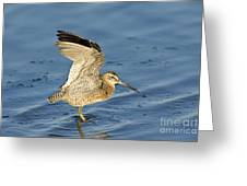 Short-billed Dowitcher Greeting Card