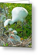 Snowy Egret Tending Young Greeting Card