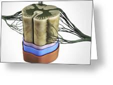 Spinal Cord Greeting Card