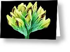 Suckling Clover (trifolium Dubium), Sem Greeting Card