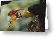 Sulawesi Red-knobbed Hornbill Male Greeting Card