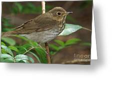 Swainsons Thrush Greeting Card