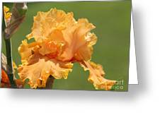 Tall Bearded Iris Named Penny Lane Greeting Card