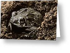 Texas Toad Greeting Card