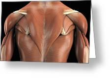The Muscles Of The Back Greeting Card