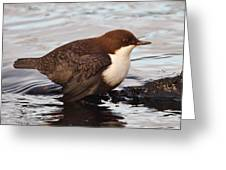 The White-throated Dipper Greeting Card