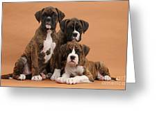 Three Boxer Puppies Greeting Card