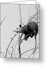 Treed Opossum Greeting Card