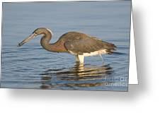 Tri-colored Heron Greeting Card