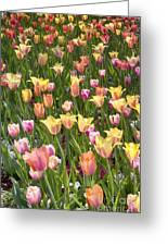 Tulips At Dallas Arboretum V92 Greeting Card