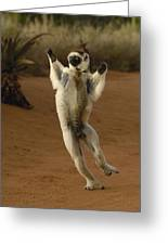 Verreauxs Sifaka Hopping Berenty Greeting Card