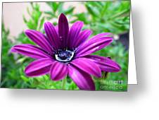 Violet Daisy Greeting Card by Stefano Piccini