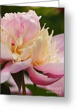 White And Pink Peony Greeting Card