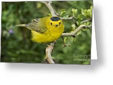 Wilsons Warbler Greeting Card