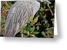 Yellow Crowned Night Heron Greeting Card