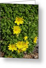 Yellow Ice Plant In Bloom Greeting Card