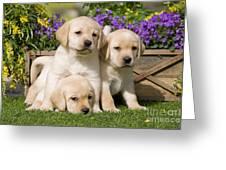 Yellow Labrador Puppies Greeting Card