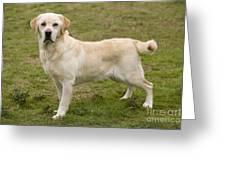 Yellow Labrador Retriever Greeting Card