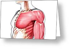 Human Musculature Greeting Card