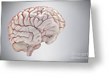 Brain With Blood Supply Greeting Card