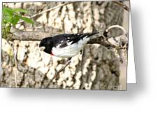 Rose Breasted Grosbeak Greeting Card