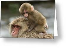 Snow Monkeys Japan Greeting Card