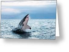 Grand Requin Blanc Carcharodon Greeting Card