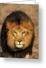 Lion Dafrique Panthera Leo Greeting Card