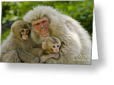 Snow Monkeys, Japan Greeting Card